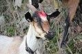 Capra hircus (06).jpg