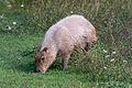 Capybara Grazing (22151486156).jpg