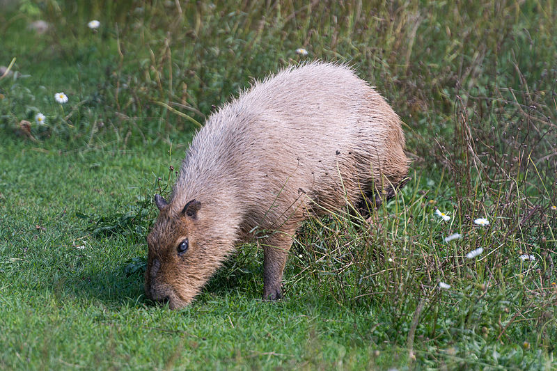 File:Capybara Grazing (22151486156).jpg
