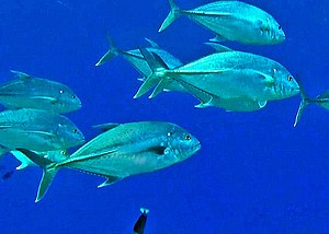 Brassy trevally - Caranx papuensis from French Polynesia