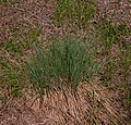 Carex elata plant (06).jpg