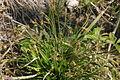 Carex ornithopoda subsp ornithopoda (Segge) IMG 8364.JPG