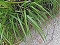 Carex pendula plant (33).jpg