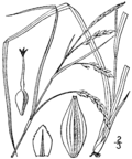 Carex venusta var. minor (as C. oblita) BB-1913.png