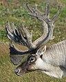 Caribou (Rangifer tarandus) - Port au Choix, Newfoundland 2019-08-19 (28).jpg