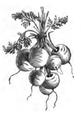 Carotte rouge très courte à châssis Vilmorin-Andrieux 1883.png