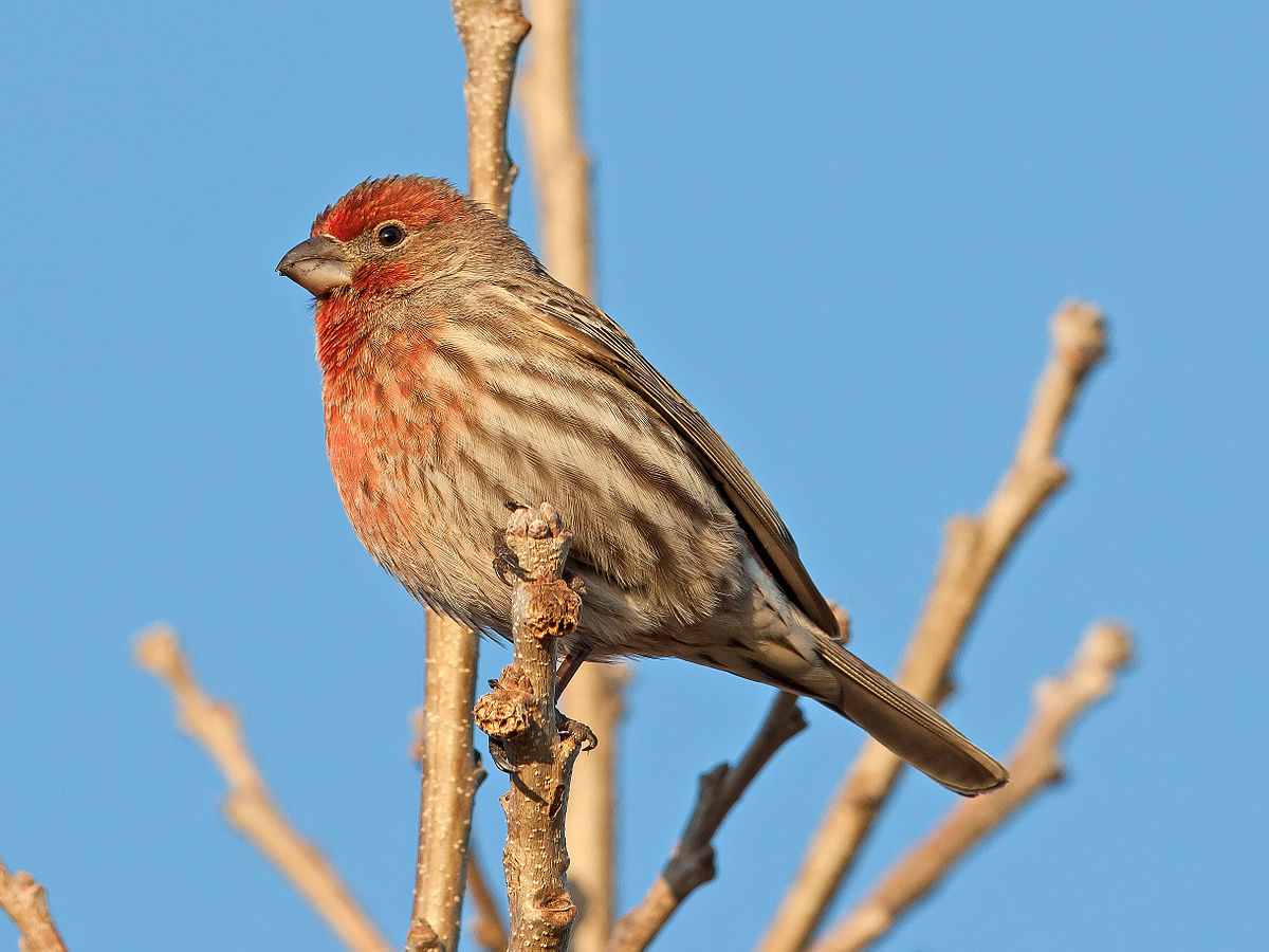 Orange Breasted Sparrow House finch - W...