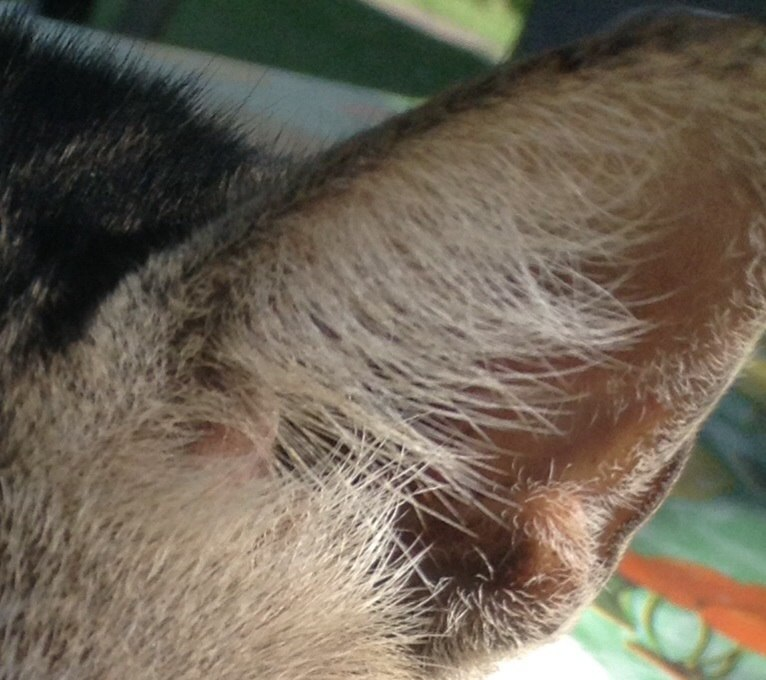 Cat anatomy - Howling Pixel