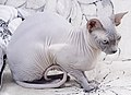 Cat - Sphynx. img 090.jpg