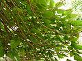 """Catalpa bignonioides """"Nana"""" - branches.JPG"""