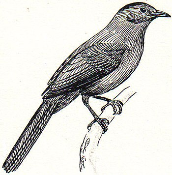 line art drawing of catbird.