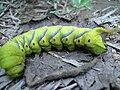 Caterpillar-----02.jpg