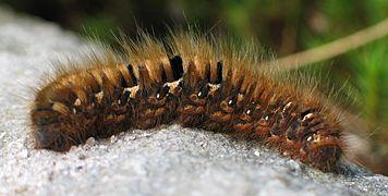 Caterpillar of Lasiocampa quercus 4063.jpg
