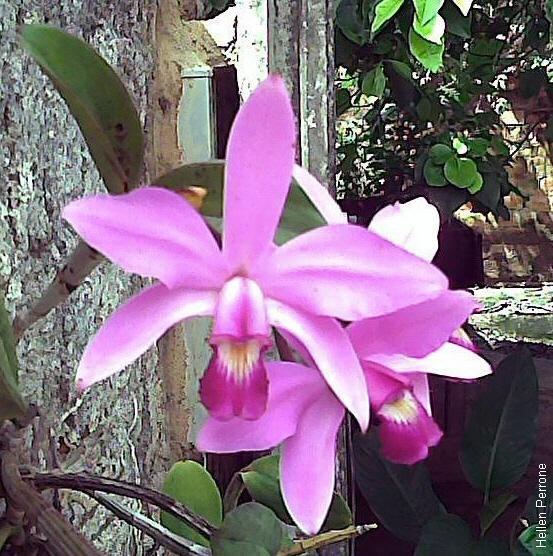 Cattleya violacea 3