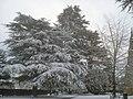 Cedar trees at Malvern Priory - geograph.org.uk - 1382392.jpg