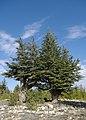 Cedrus libani - Lebanon cedar 01.jpg