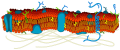 Cell membrane detailed diagram blank.svg