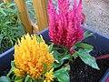 Celosia plumosa 01.jpg