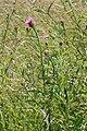 Centaurea jacea-subsp-decipiens-var-microptilon bray-sur-somme 80 25062007 2.JPG