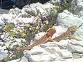 Central bearded dragons kept as pets.jpg