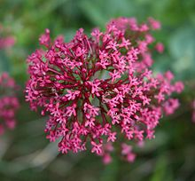 Centranthus ruber A.jpg