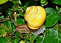 Cepaea nemoralis - Living animal - 01.jpg