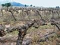 Ceps palissés et taillés de Riverview à Stellenbosch.jpg
