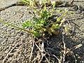 Cerastium semidecandrum 16231290.jpg