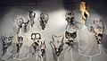 Ceratopsian skulls.jpg
