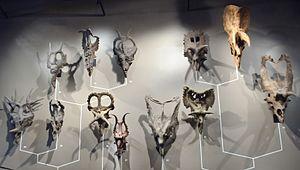 Ceratopsidae - Ceratopsid skulls at the Natural History Museum of Utah