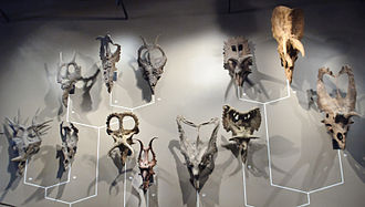 Ceratopsidae - Ceratopsid skulls at the Natural History Museum of Utah