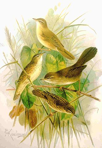 Francesco Cetti - Cetti's warbler
