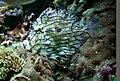 Chaetodermis penicilligerus 2.jpg
