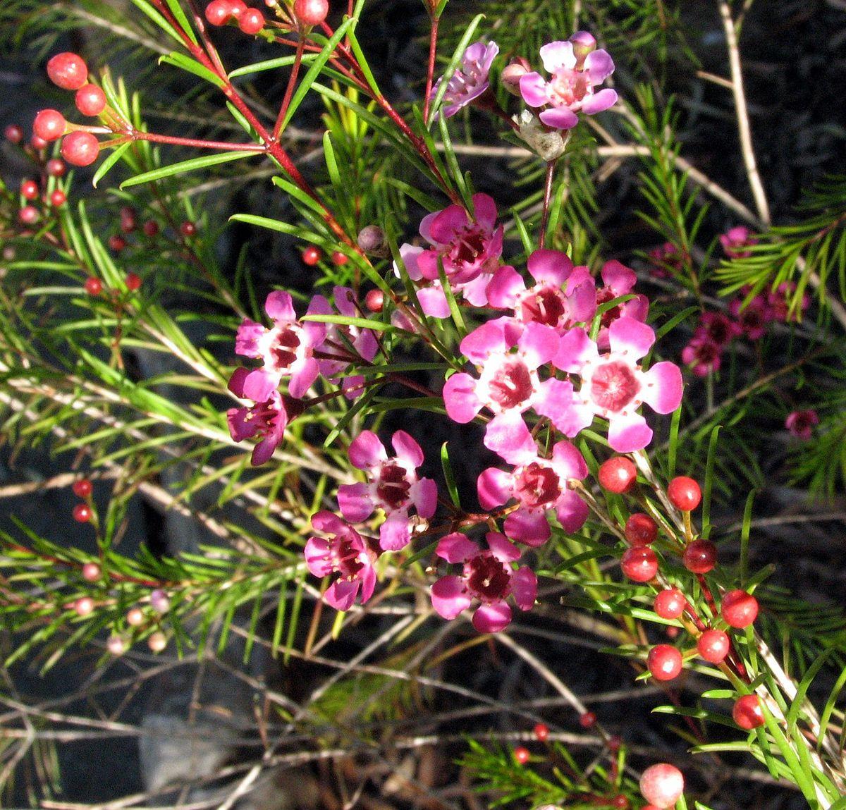 Chamelaucium uncinatum3.jpg