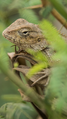 Chameleons pic click by self.png
