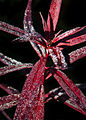 Chamerion angustifolium (7945509942).jpg