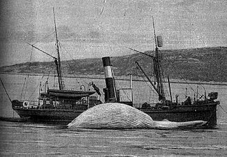 Maritime history of the United States (1900–99) - A steamship cleaning a whale, circa 1900.