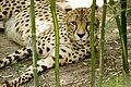 Cheeky Cheetah (30632337).jpeg