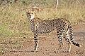 Cheetah- Kruger National Park, South Africa (27809644990).jpg