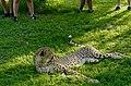 Cheetah (Acinonyx jubatus) captive male attracting tourists attention ... (50099919041).jpg