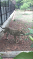 Cheetah in Mysore Zoo 1.png