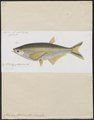 Chela hypophthalmus - 1863 - Print - Iconographia Zoologica - Special Collections University of Amsterdam - UBA01 IZ15000164.tif