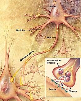 """tekening die een neuron toont met een vezel die eruit komt met het label """"axon"""" en die contact maakt met een andere cel.  Een inzet toont een vergroting van de contactzone."""