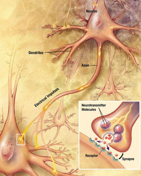Neurons generate electrical signals that travel along their axons. When a pulse of electricity reaches a junction called a synapse, it causes a neurotransmitter chemical to be released, which binds to receptors on other cells and thereby alters their electrical activity. - Wikipedia