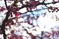 Cherry Blossom Tree (138652051).jpeg