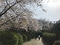 Cherry blossoms in Sasayama Park 10.jpg