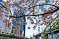 Cherry blossoms near Shohei Bridge, Shōhei-bashi Overpass, & Matsuzumi-chō Overpass (2017-04-06 03.32.45 by yagi-s).jpg
