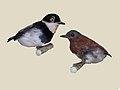 Chestnut Wattle-eye specimen RWD.jpg
