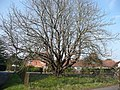 Chestnut tree at Pound Green - geograph.org.uk - 699485.jpg