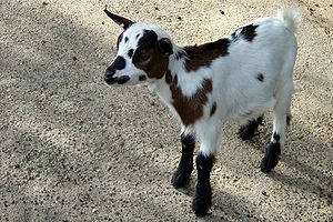 Goat kid, Mulhouse zoo, Alsace, France